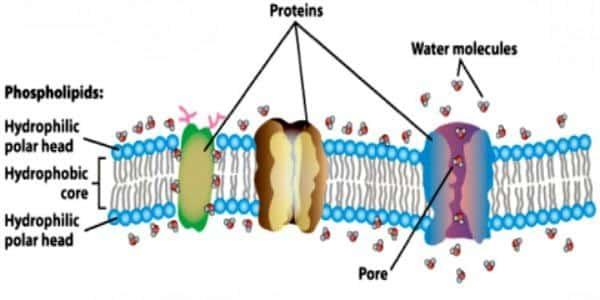 Phosphatidyl Choline: A simple yet necessary nutrient
