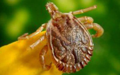 Illnesses from Tick, Flea and Mosquito Bites Have Tripled: What You Can Do About It?
